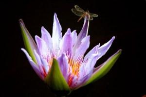 dragonflyandlotus.jpg